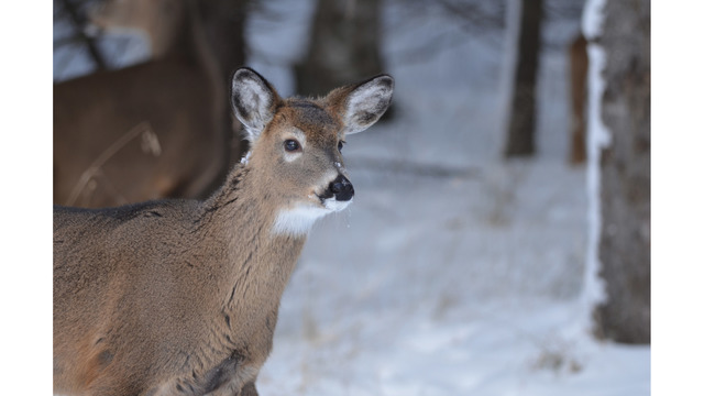 Rep. LaFave: Time to end practice of deer sterilization in Michigan