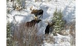 Research team tracks moose populations at Isle Royale National Park